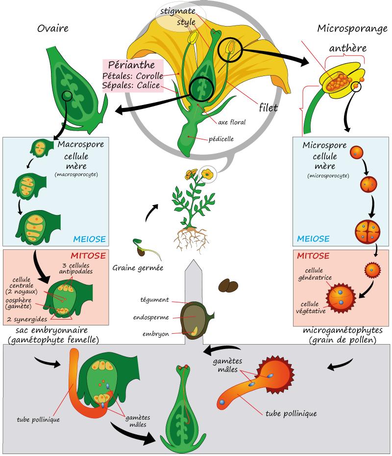 plante carnivore cycle 3